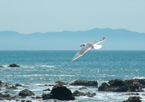 Gull at Muir Beach