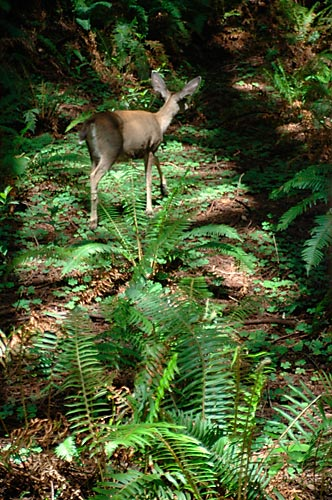 Fawn in Muir Woods